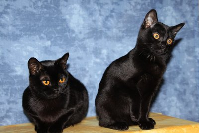 pisici-bombay-blana-scurta