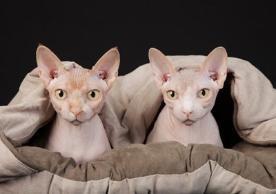 pisici-fara-par-urechi-mari