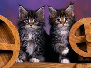 pisici-maine-coon-chisturi-renale.