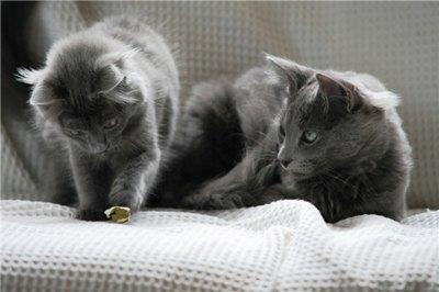 pisici-nebelung-blana-lunga