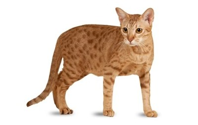 pisici-ocicat-pisica-domestica-cu-pete