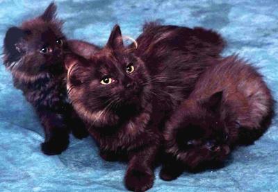 pisici-tiffany-porumb