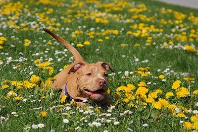 pitbull-in-iarba-cu flori-sanatate-si-puncte-vulnerabile
