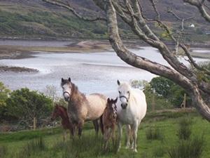 ponei-connemara-pe-iarba-periere