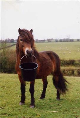 ponei-exmoor-cu-galeata