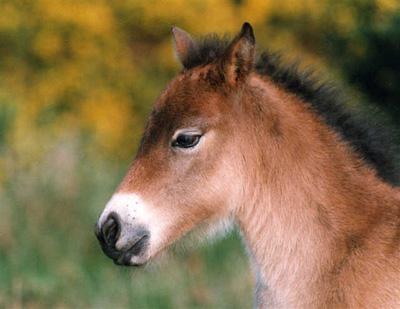 ponei-exmoor-descriere-fizica