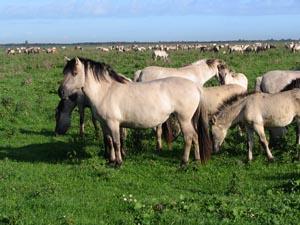ponei-konik-colorit