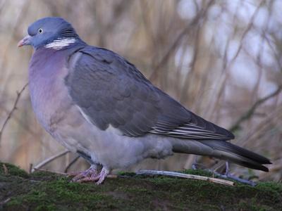 porumbel-gulerat-profil-pasare-migratoare