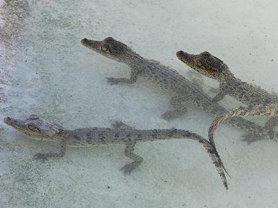 pui-crocodil-cuburi