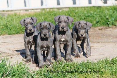 pui-dog-german-reproducere