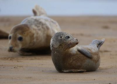 pui-foca-nastere
