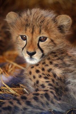 pui-ghepard-speranta-de-viata