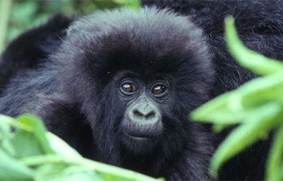pui-gorila-de-munte-conducator