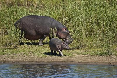 pui-hipopotam-reproducere