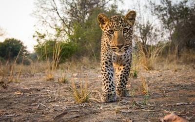 pui-leopard