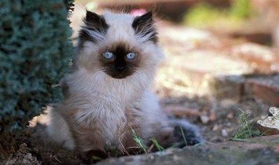 pui-pisica-himalayana-obezitatea