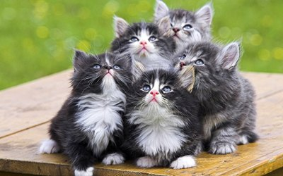 pui-pisica-norvegiana-de-padure-displazia-de-sold