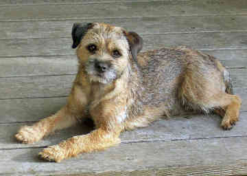 rasa-border-terrier-animal-de-vanatoare