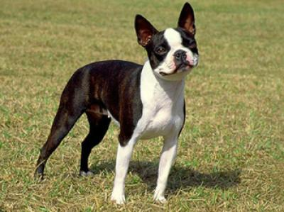 rasa-boston-terrier-caini-inteligenti