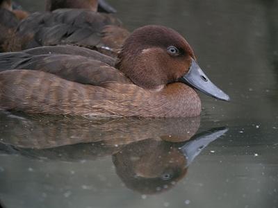rata-de-madagascar-pe-lac-apa