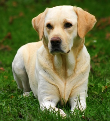 retriever-labrador