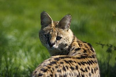 servalul-imagini-animal-solitar