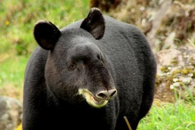 tapir-de-munte-disparitie