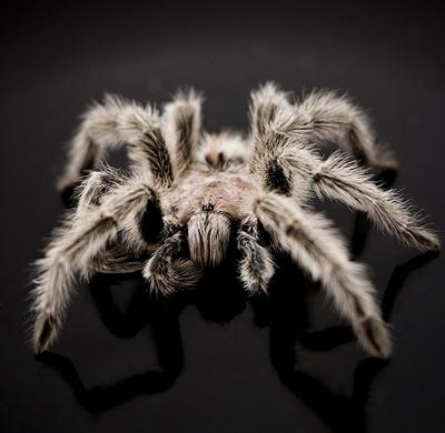 tarantula-fond-negru-clesti