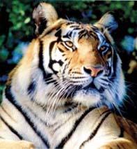 tigru-bengalez-blana