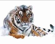 tigru-siberian-padurile-dense