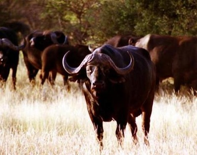 turma-bivoli-africani-coarne