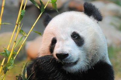 urs-panda-cap-blana