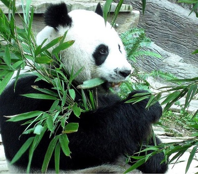 urs-panda-mancand-sistem-digestiv