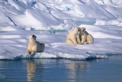 ursi-polari-Polul-Nord