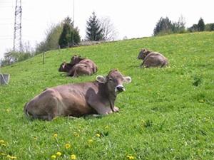 vaci-brune-pe-iarba-proteine