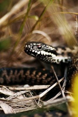 vipera-cap-serpi-carnivori