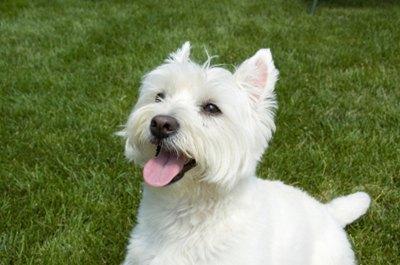 West-highland-white-terrier-in-iarba-marime-medie