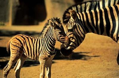 zebra-si-pui