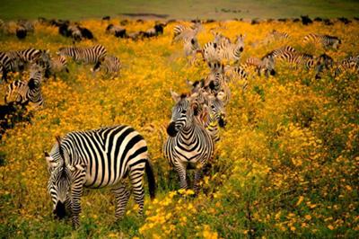 zebre-campie-savane
